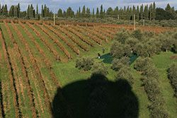 Aerial balloon flight view of Tuscany with olive groves and vines surrounding a small village